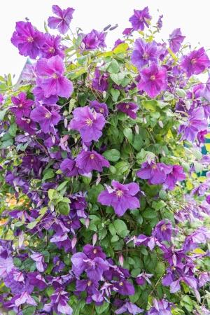 Цветущий куст клематис