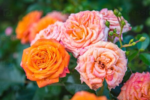 Розовый цветок розы