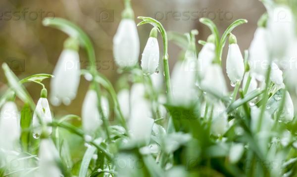 Красивые весенние цветы подснежники