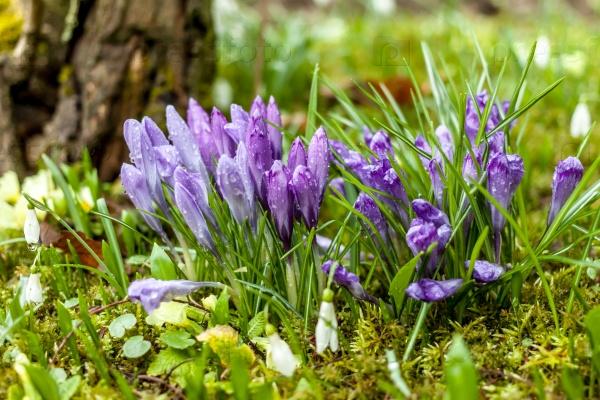 Красивые весенние цветы крокусы