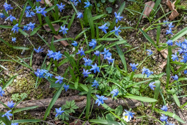 Первые синий весенние лесные цветы