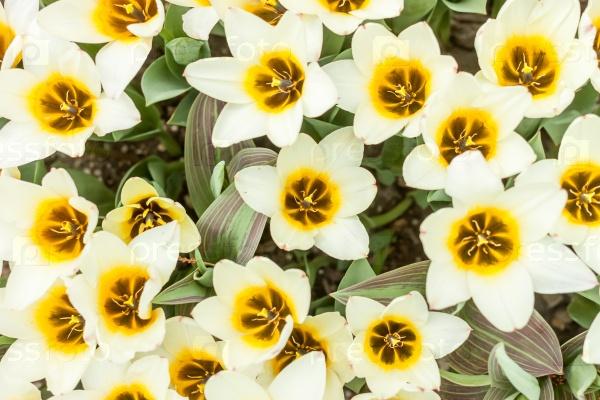 Красивые белые и желтые тюльпаны