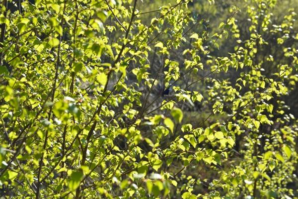 Весенние листья березы