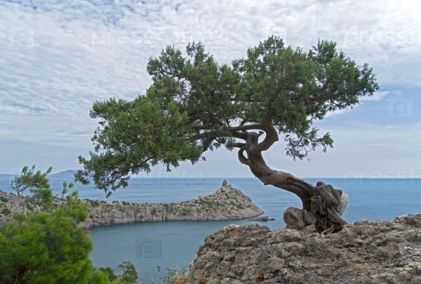 Старый изогнутый можжевельник на берегу моря