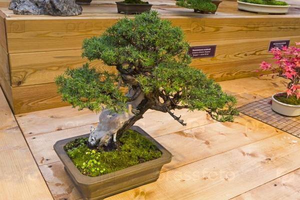 Бонсай дерево - можжевельник