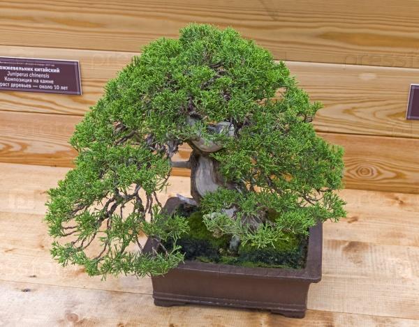 Бонсай дерево - китайский можжевельник