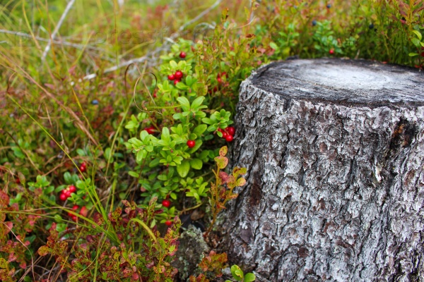 Брусника — ягода бессмертия