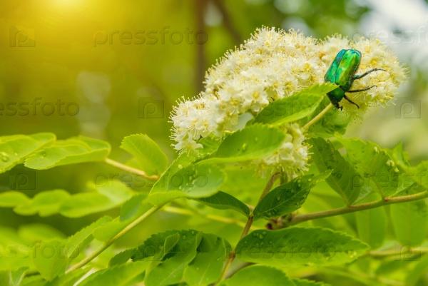 Зеленый жук на цветке рябины