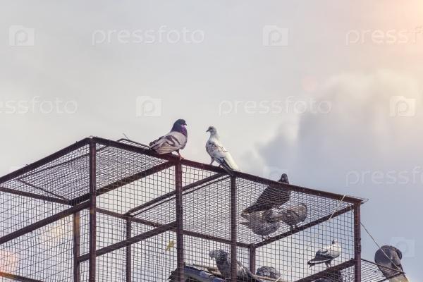 Голуби сидят на клетке