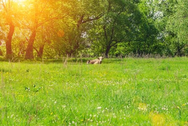 Одинокий бык пасется на лугу