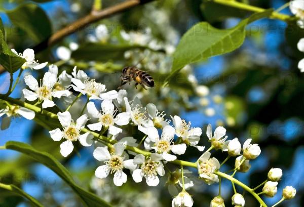 Пчела у цветов