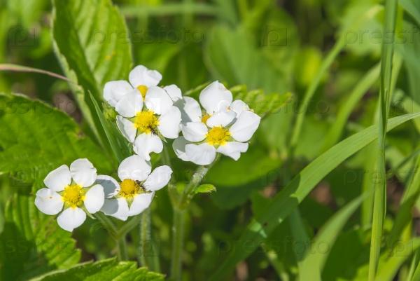 Цветущая клубника в зеленой траве