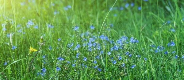 Синие цветы в зеленой траве