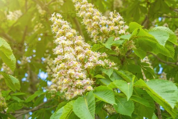Цветущие гроздья каштана
