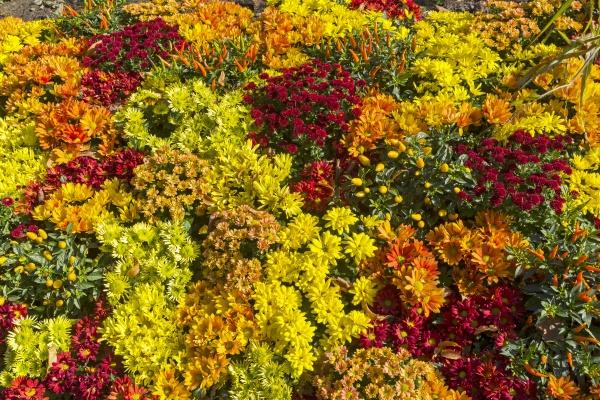 Клумба с цветущими хризантемами под ярким солнцем