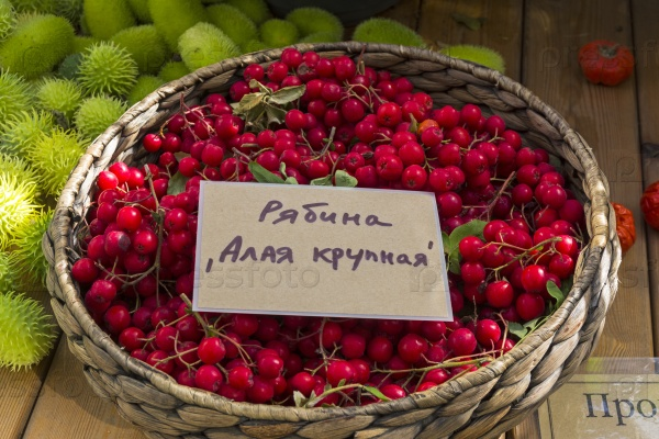 Корзина с спелыми ягодами рябины