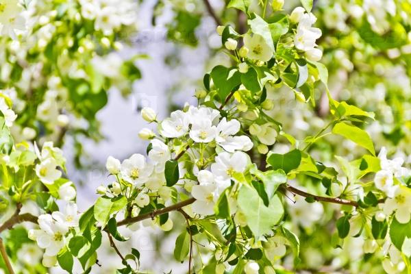 Зеленая ветка с белыми цветами яблони