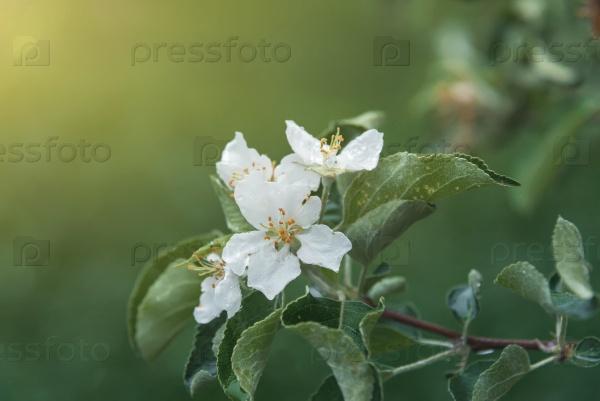 Цветущие яблони в зеленом саду