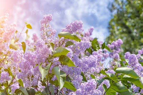 Цветущие гроздья сирени