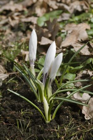 Крокусы цветы весной