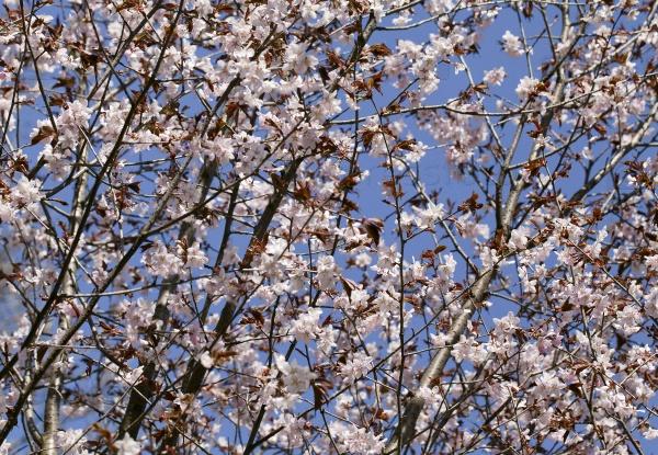 Сакура весной