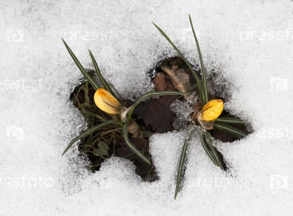 Крокус цветы в снегу