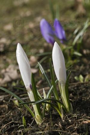 Крокус цветы весной