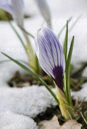 Крокус цветок в снегу