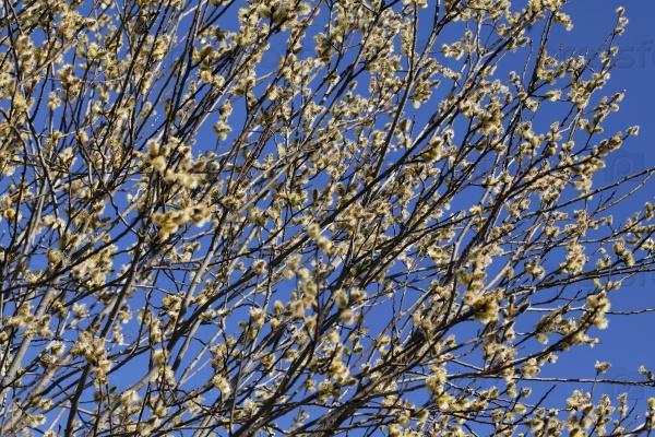 Ива весной