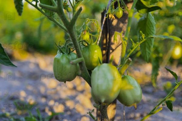Зеленые помидоры на кусте