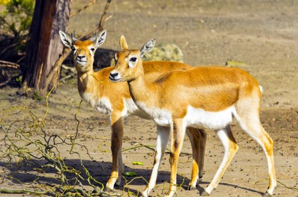 Рогатые антилопы в зоопарке