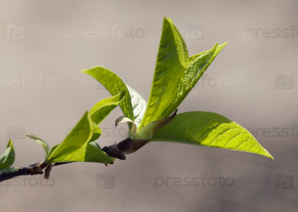 Свежие весенние листья
