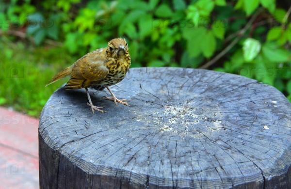 Птица серая мухоловка