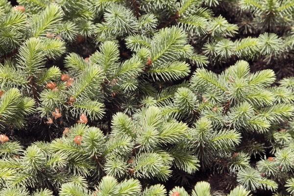Ветви елки текстуры