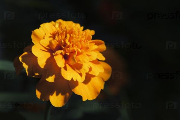 Бархатцы цветок