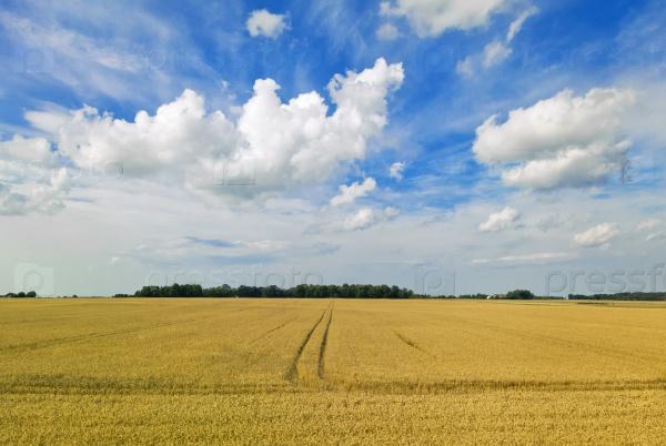 Желтое поле и голубое небо