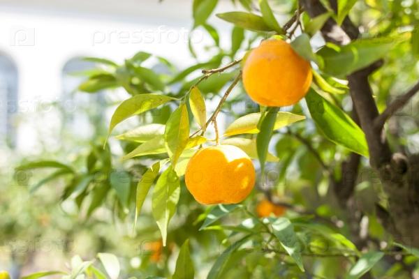 Мандариновое дерево со спелыми плодами