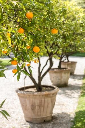 Мандариновые деревья со спелыми плодами