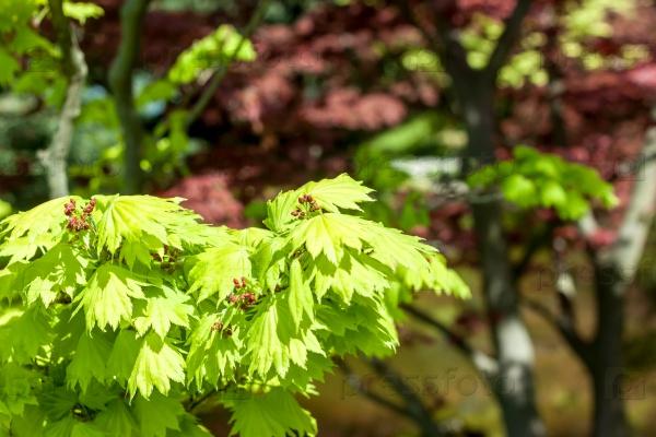 Красные кленовые листья на зеленом фоне