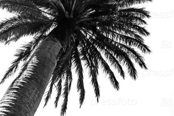 Черная пальма на белом фоне